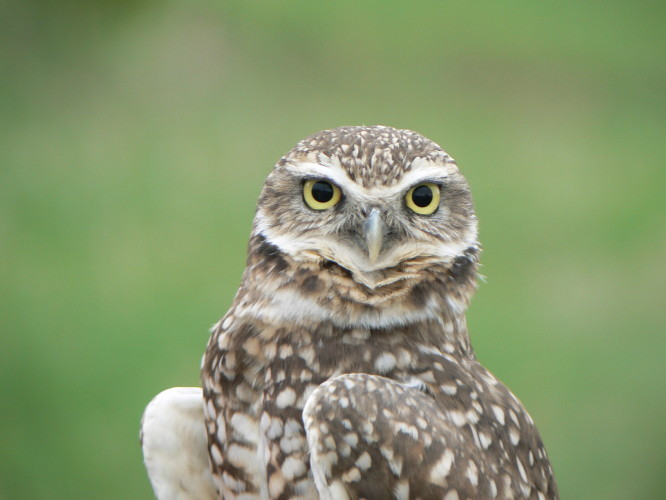 Photo credit Gary Seib: Burrowing Owl