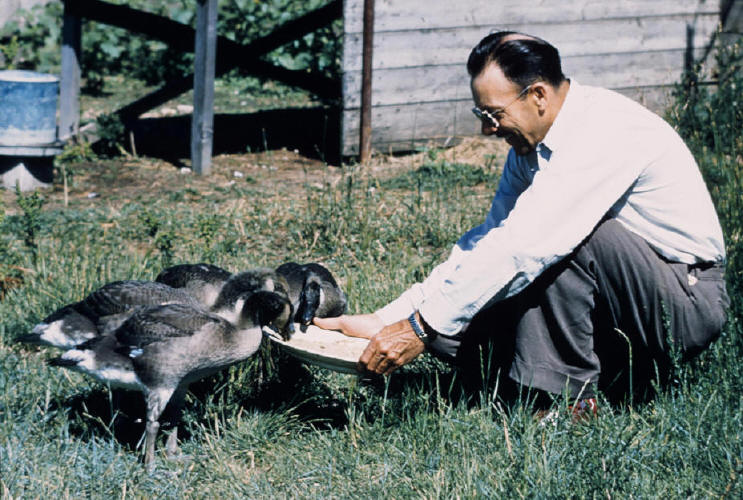 "Photo credit: Fred Lahrman ""Photo taken in 1953 of Fred Bard and geese"""